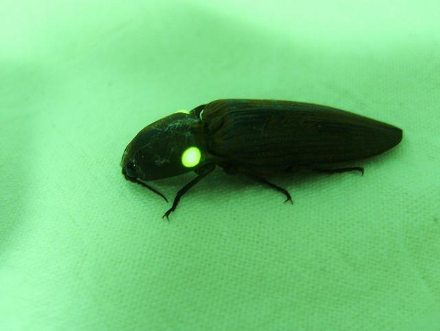 Resultado de imagem para vagalume inseto