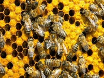 abelhas-e-favos-wallpaper-23974 (1)