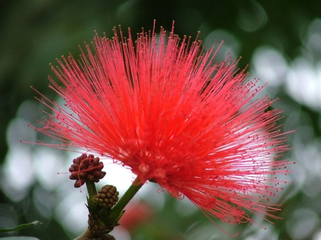 caliandra flor