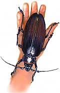 besouro-titanus-gigantus